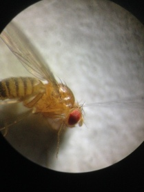 Manipulator: Fruit fly targeted with electrode